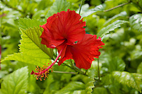 Red hibiscus, Jaluit Atoll, Marshall Islands.
