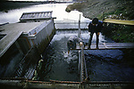A worker catches a salmon at  the Towada Salmon Hatchery along the banks of the Oirase River near Towada, Japan where volunteers catch salmon to fertilize eggs. 30 million young salmon each year are placed in the Oirase River to help in Japan's conservation efforts to replace the salmon taken for food. Most of their work is done during the salmon-spawning season during the fall as the fish begin their annual trek and battle their way through rushing currents and over boulders several miles upstream from the mouth of the river past the hatchery to spawn. (Jim Bryant Photo).....