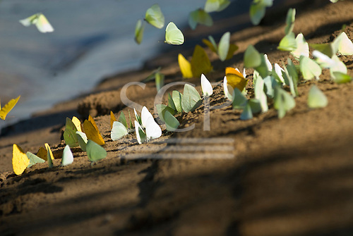 Pará State, Brazil. Xingu River. Butterflies on a river beach.