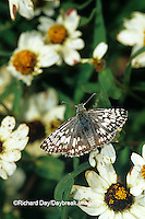 03647-00119 Common Checkered-Skipper  butterfly (Pyrgus communis) on Crystal White Zinnia (Zinnia angustifolia) Marion Co.  IL