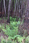 A control burn has cleared out the underbrush in this pine forest.  The ferns are resprouting and loving the new openness.