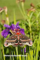 04013-00107 Cecropia Moth (Hyalophora cecropia) in flower garden, Marion Co., IL
