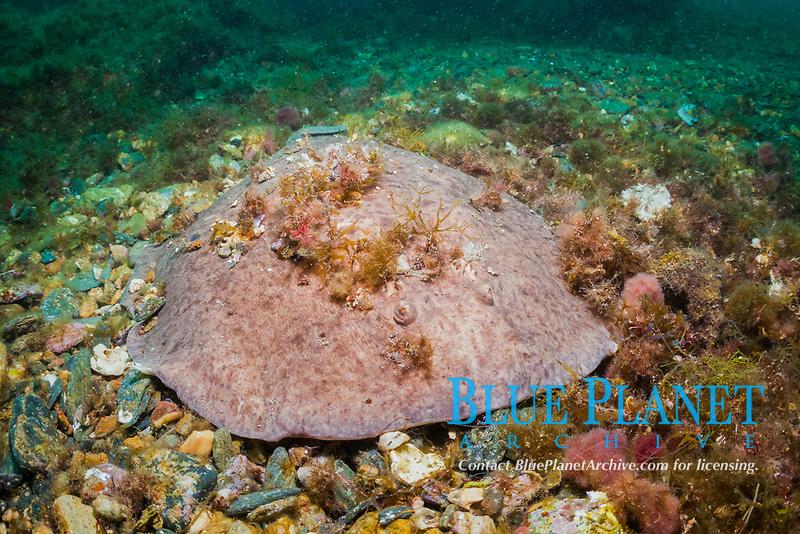 marbled electric ray, Torpedo marmorata, Cap de Creus, Costa Brava, Spain, Mediterranean Sea, Atlantic Ocean