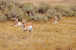 Pronghorn Females, Lava Creek, Yellowstone National Park, Wyoming