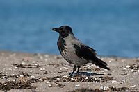 Nebelkrähe, Nebel-Krähe, Aaskrähe, Aas-Krähe, Krähe, Corvus corone cornix, Carrion Crow, Corneille mantelée