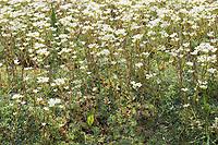 Rispen-Steinbrech, Trauben-Steinbrech, Rispensteinbrech, Traubensteinbrech, Steinbrech, Saxifraga paniculata subsp. paniculata, Livelong Saxifrage, Saxifrage paniculé