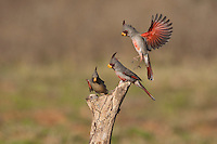 Pyrrhuloxia (Cardinalis sinuatus), male and female fighting, Starr County, Rio Grande Valley, South Texas, USA