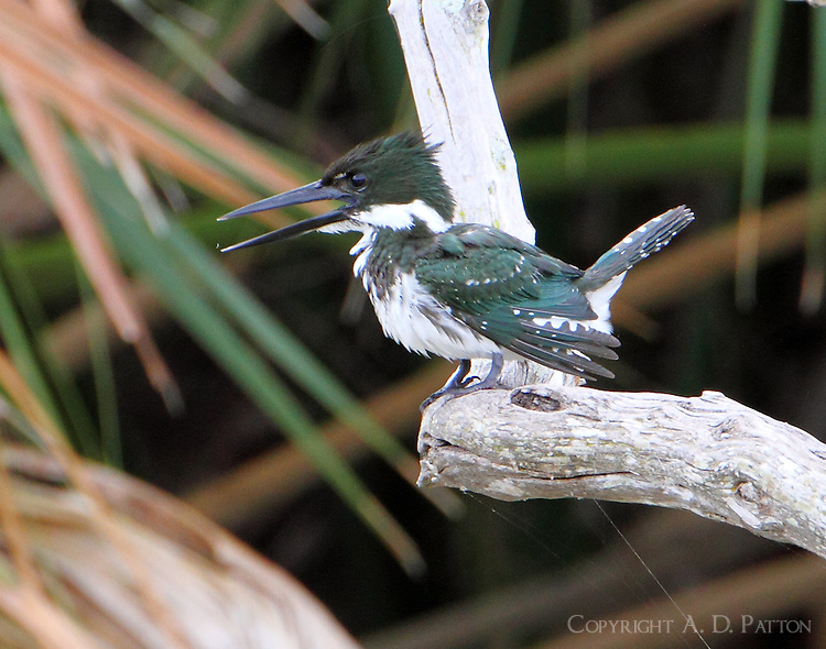 Female Amazon kingfisher