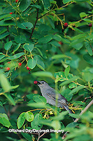 01392-00302 Gray Catbird (Dumetella carolinensis) eating a Shadblow Serviceberry (Amelanchier canadensis), Marion Co. IL