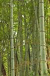 Thick stands of bamboo near Narita, Japan