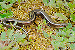 Three-toed Skink (Chalcides chalcides), Sicily, Italy.