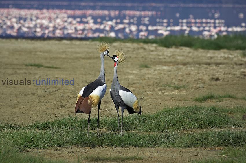 Grey Crowned Crane (Balearica regulorum), Kenya.