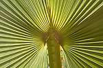 Close-up of a backlit Palm frond,Cabo San Lucas, Baja California, Mexico