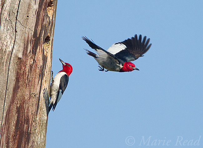 Red-headed Woodpecker (Melanerpes erythrocephalus), pair at nest hole, one outside with food, one flying out of hole, May's Point area, Montezuma Wildlife Refuge, New York, USA