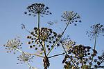Heracleum mantegazzianum Giant Hogweed plant seed heads
