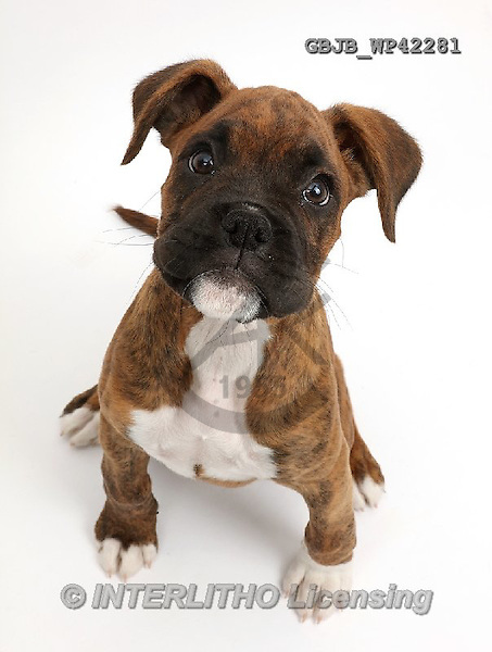 Kim, ANIMALS, REALISTISCHE TIERE, ANIMALES REALISTICOS, fondless, photos,+Brindle Boxer puppy sitting looking up,++++,GBJBWP42281,#a#