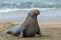 Northern Elephant Seal (Mirounga angustirostris) bull coming ashore.  California's Pacific Ocean Coast.