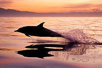 long-beaked common dolphin, Delphinus capensis, at sunrise, False Bay, South Africa