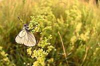 Altwarper Dune - Altwarper Binnendünen   Baumweißling, Baum-Weißling, Baumweissling, Aporia crataegi, black-veined white, , Altwarp, Germany