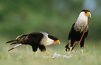 Crested Caracara, Caracara plancus,pair eating on Eastern Cottontail, Starr County, Rio Grande Valley, Texas, USA, May 2002
