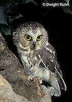 OW02-374z  Saw-whet owl - at nest cavity - Aegolius acadicus