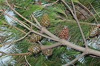 Pinie, Schirmkiefer, Zapfen und Nadeln, Pinienzapfen, Schirm-Kiefer, Kiefer, Pinus pinea, Stone Pine, Umbrella Pine