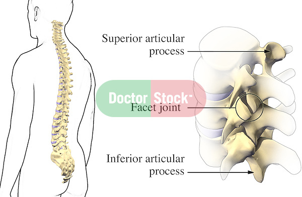 Vertebral Spine Anatomy. This medical illustration shows the superior articular process, facet joint and inferior articular process of a typical vertebra in the spinal column.