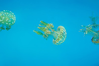 435550007 spotted jellyfish mastigias papua float and swim in their enclosure at the long beach aquarium in long beach california - species is native to the southwestern indo-pacific ocean especially the ocean around palau