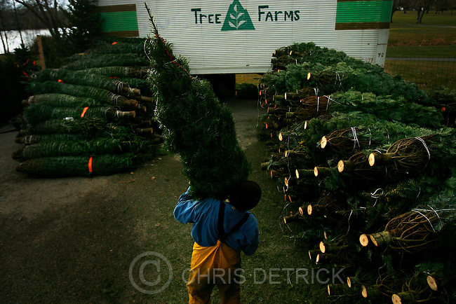 Scotty Benwear works at unloading Grand and Noble Fir Christmas trees at the Robinson Tree Farm lot at the Nibley Park Golf Course Thursday December 4, 2008.  About 500 trees, which were grown in Washington State, were unloaded to be sold....Chris Detrick/The Salt Lake Tribune.