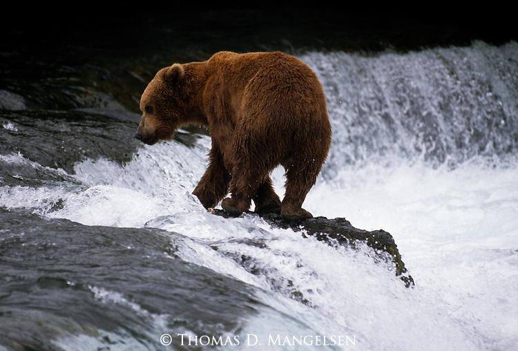 Alaskan brown bear at top of Brooks Falls looking upstream in Alaska