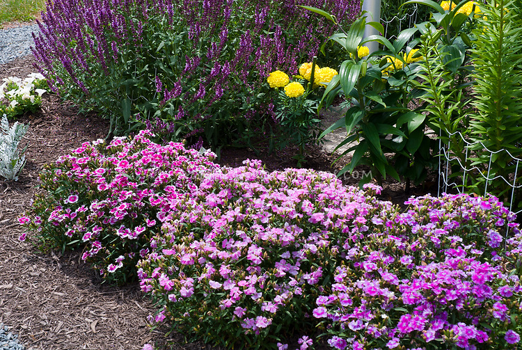 Dianthus single flowered pink type, mixture variety, Salvia, marigold Tagetes flowers. Salvia nemerosa Mainacht aka May Night. Perennial Plant of the Year by the Perennial Plant Association in 1997