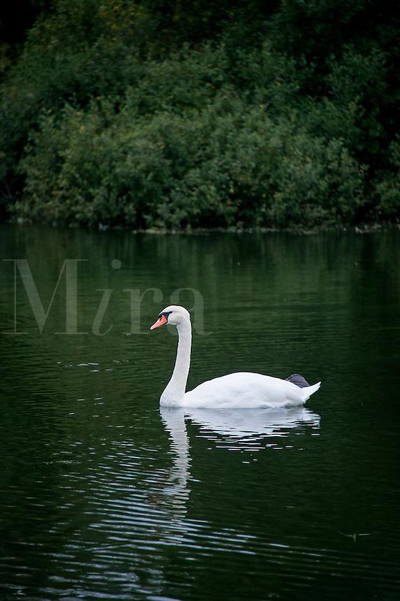 White swan, Cygnus