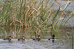 Damon, Texas; a male and three female Ring-necked Ducks swimming on the surface of the slough on an overcast afternoon