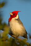 Red-crested Cardinal (Paroaria coronata), Ibera Provincial Reserve, Ibera Wetlands, Argentina