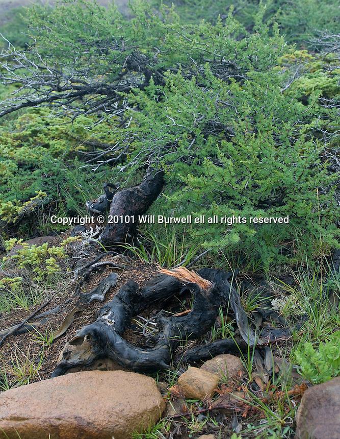 Common Juniper on the Tablelands Gros Morne National Park BNewfoundland and Labrador