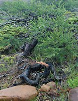 Common Juniper on the Tablelands Gros Morne National Park BNewfoundland and Labrador