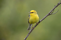 """Brewster's Warbler"", male, a rare hybrid  between a Blue-winged Warbler (Vermivora cyanoptera) and a Golden-winged Warbler (Vermivora chrysoptera) in Sterling Forest State Park near Tuxedo Park, New York."
