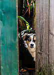 """Who goes there!!"". A dog checking around the gate in back alley of Newton, NSW, Australia"