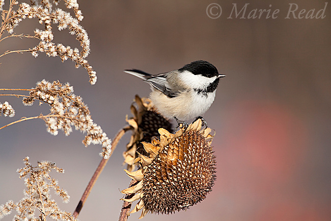 Black-capped Chickadee (Poecile atricapilla) attracted to feed at sunflower seedhead in winter, New York, USA