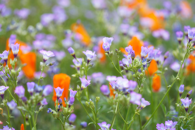 California Golden Poppies and unidentiefied blue  flower. Antelope Valley, California