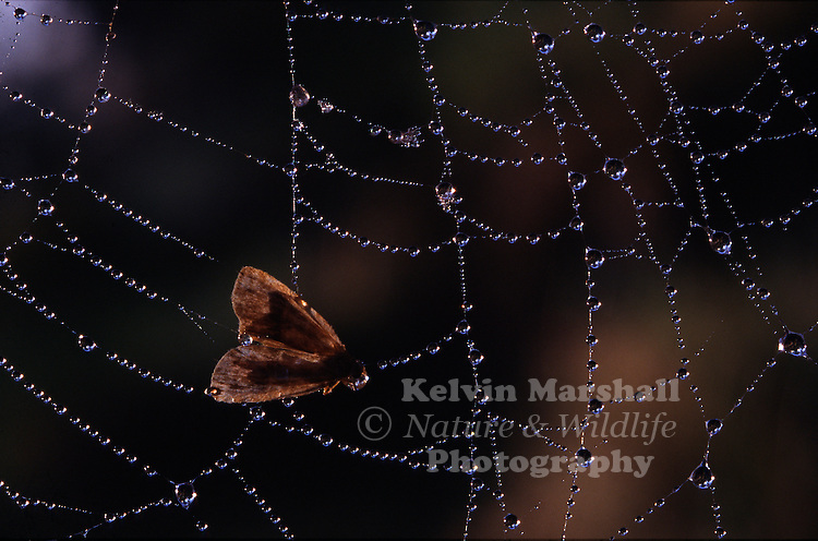 An early morning shot of a dew covered spiders web, with a small moth caught in the middle.