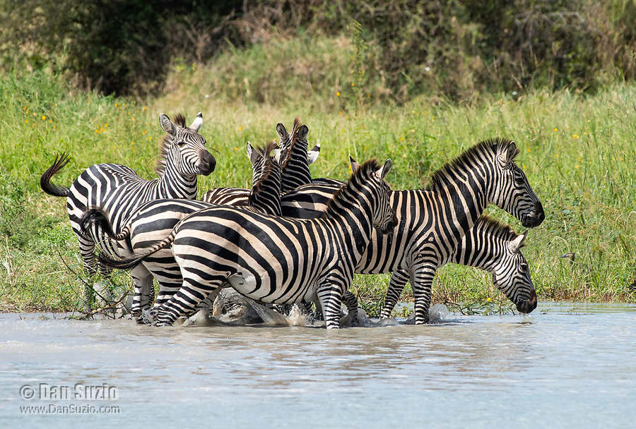Grant's Zebras, Equus quagga boehmi, run from a pond in Tarangire National Park, Tanzania, after being threatened by a hippo, Hippopotamus amphibius