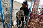"""A Palestinan worker helps a fox to enter a crate at a zoo in Rafah in the southern Gaza Strip, during the evacuation by members of the international animal welfare charity """"Four Paws"""" of animals from the Palestinian enclave to relocate to sanctuaries in Jordan, on April 7, 2019. Forty animals including five lions are to be rescued from squalid conditions in the Gaza Strip, an animal welfare group said. Photo by Ashraf Amra"""