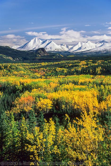 Autumn, Birch, Aspen trees and snow covered Alaska mountains, Denali National Park entrance, Alaska