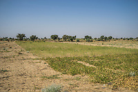 Technoserve's Guar Demo Plot in Kheeyara village, Bikaner, Rajasthan, India on October 24th, 2016. Non-profit organisation Technoserve works with farmers in Bikaner, providing technical support and training, causing increased yield from implementation of good agricultural practices as well as a switch to using better grains better suited to the given climate. Photograph by Suzanne Lee for Technoserve