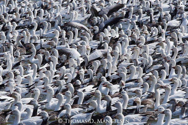 Large flock of snow geese roost on the Platte River in Nebraska.