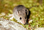 Meadow Vole Microtus pennsylvanicus