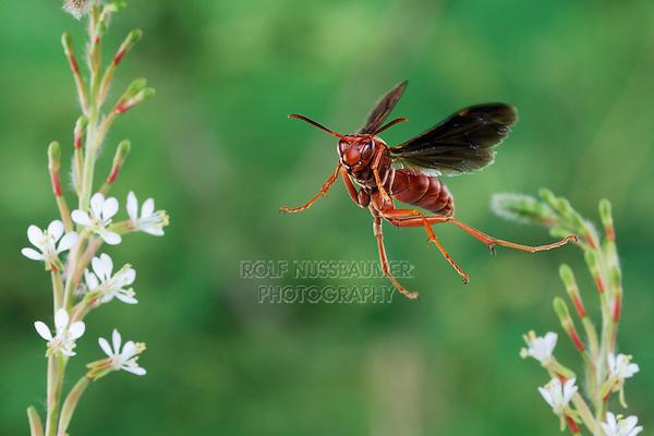 Red Paper Wasp (Polistes carolina), adult in flight, Dinero, Lake Corpus Christi, South Texas, USA