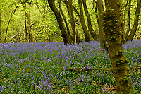 Bluebells at Woodlands in West Kingsdown - 24.04.2018