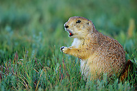 Black-tailed Prairie Dog (Cynomys ludovicianus) barking. Great Plains.  Summer.